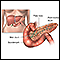 image for Pancreas